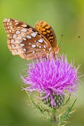 Great Spangled Fritillary on Thistle