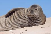 HI, Hawaii, Hawaiian Islands, Hawaiian Monk Seal, Ka'ena Point Wildlife Preserve, Marine, Monachus schauinslandi, North America, Oahu, USA, United States, mammal, marine mammal, pinniped, wildlife