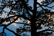 Silhouetted Pine Tree at Sunset