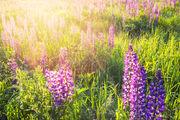 Common Lupine, Lupinus perennis, NH, New England, New Hampshire, North America, Sugar Hill, Sundial Lupine, USA, United States, Wild Blue Lupine, Wild Lupine, flare, flower, glare, landscape, lupine,