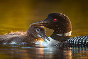Common Diver, Common Loon, Gavia immer, NH, New England, New Hampshire, North America, USA, United States, avian, baby, bird, chick, diver, loon, summer, wildlife