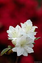 azalea, flower, New Jersey