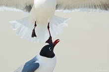 aughing gull, gull, larus atricilla, assateague island, assateague island national seashore, maryland