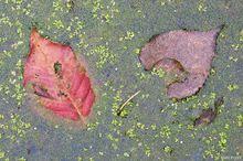 deciduous leaves, duckweed, pond, Hamilton-Trenton Marsh, New Jersey
