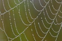 dew, spider's web