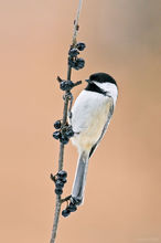 New York, Black-capped Chickadee, chickadee,