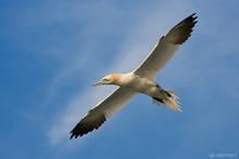 northern gannet, gannet, morus bassanus, Delaware Bay