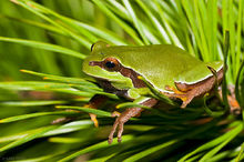 Pine Barrens Treefrog,Hyla andersonii, Green Wood Wildlife Management Area, New Jersey, treefrog