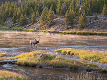 bull, elk, Madison River, mist, Yellowstone National Park, Wyoming