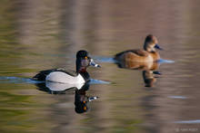 Ring-necked Duck, Aythya collaris, Sally Pond, Ringwood State Park, New Jersey, male, female, duck