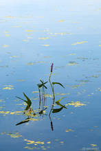 pickrelweed, Pontedaria cordata, aquatic plant, flower, gilmore pond, bradley draper memorial forest, bradley draper, ja