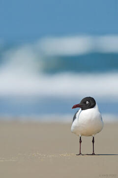 laughing gull, gull, larus atricilla, assateague island, assateague island national seashore, maryland, dozing
