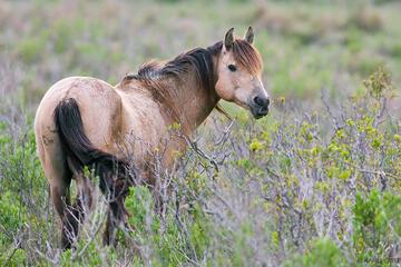 Chincoteague Pony, Chincoteague National Wildlife Refuge, Chincoteague, stallion, Virginia
