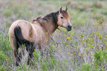 Assateague Island, Assateague Pony, Chincoteague NWR, Chincoteague National Wildlife Refuge, Chincoteague Pony, Equus caballus, North America, USA, United States, VA, Virginia, equine, feral horse, fe