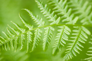 North America, Shenandoah National Park, USA, United States, VA, Virginia, blur, close-up, dreamy, fern, ferns, green, plant, shallow depth of field, soft