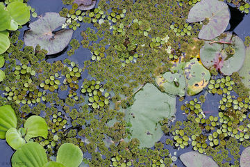 lily pad, duckweed, pond, Waterford Gardens, New Jersey, NJ