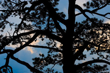 sunset, pine tree, Raven's Roost, Blue Ridge Parkway, George Washington National Forest, Virginia, USA, silhouette
