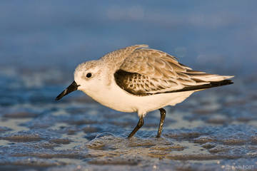 Chincoteague National Wildlife Refuge, Virginia, Chincoteague, Sanderling, winter plumage, beach, bubbles