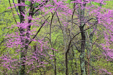 Eastern Redbud, North America, Shenandoah National Park, USA, United States, VA, Virginia, bud, green, pink, plant, spring, tree