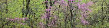 eastern redbud, Shenandoah National Park, Shenandoah, Virginia, panorama