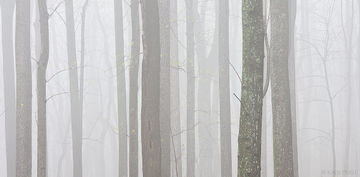 Shenandoah, Shenandoah National Park, national park, Virginia, spring, tree, tree trunks, fog, layers, damp
