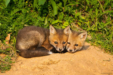 Red fox, vulpes vulpes, siblings,