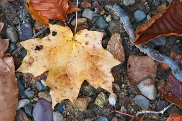 NJ, New Jersey, North America, Norway Maple, Sugar Maple, USA, United States, Wawayanda State Park, autumn, close-up, dead, death, fall, leaf, macro, maple, plant, tree, yellow