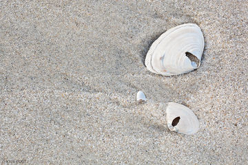 New Jersey, Jersey shore, beach, sand, shell, clam shell, close-up