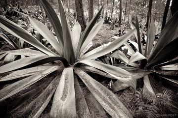 Haiti, Parc La Visite, La Visite National Park, agave, landscape, monochrome, senic, sepia
