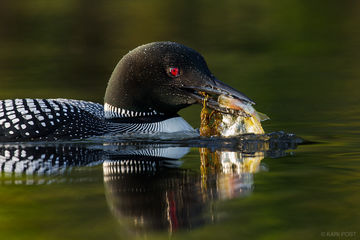 Common Diver, Common Loon, Gavia immer, NH, New England, New Hampshire, North America, USA, United States, avian, bird, diver, eating, feeding, fish, hunting, loon, pond, portrait, wildlife