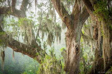 Magnolia Plantation, North America, SC, South Carolina, Southeast, Spanish moss, USA, United States, dreamy, green, live oak, moody, moss, plant, spring, tree