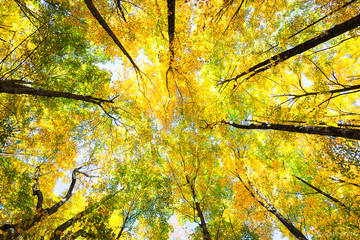 New England, North America, USA, United States, VT, Vermont, autumn, backlit, fall, maple, plant, sky, tree, yellow