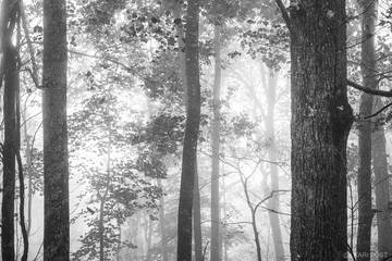 B&W, B+W, B/W, black and white, Chattahoochie National Forest, GA, Georgia, North America, Southeast, USA, United States, autumn, backlit, fall, fog, forest, monochrome, plant, tree