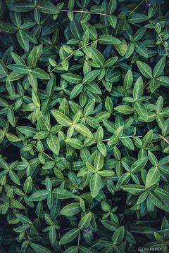 Periwinkle Leaf Study