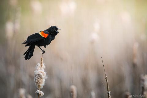 Calling Blackbird print