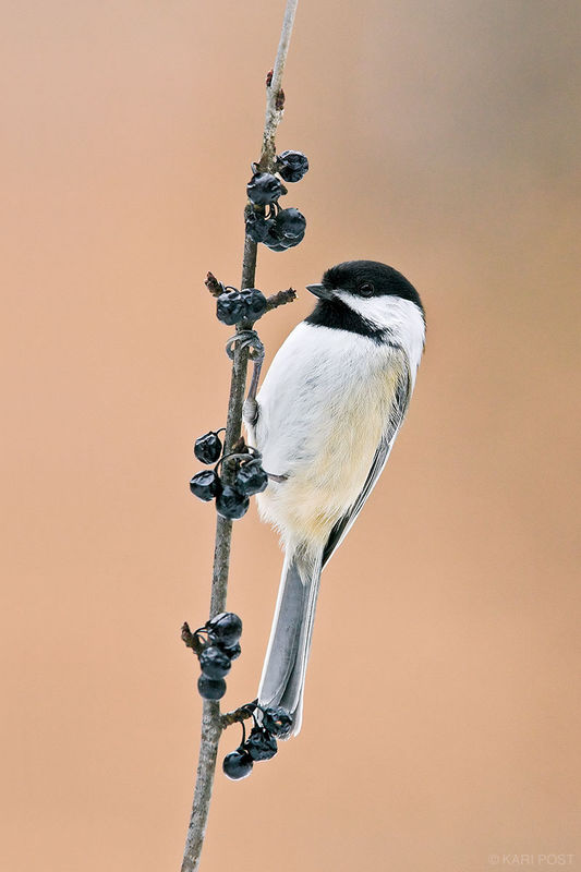 Winter Chickadee on Berry Branch