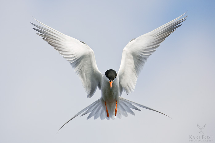 Forster's Tern, hover, Chincoteague National Wildlife Refuge, Virginia