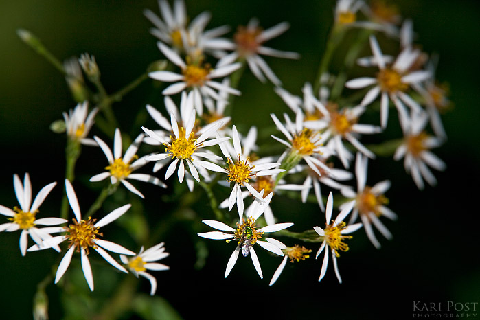 Andrew Weeks Memorial Forest, Guilford, Vermont, asters, summer, New England Forestry Foundation, flower, photo
