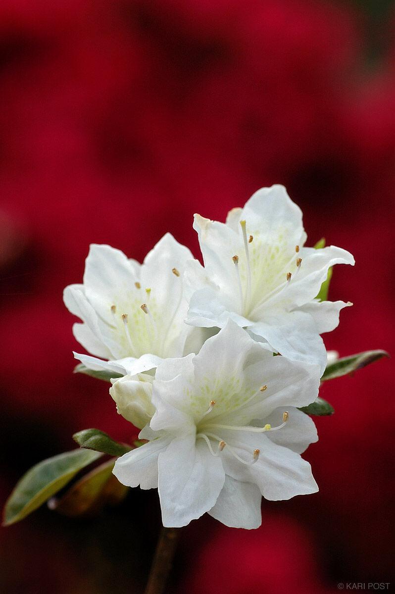azalea, flower, New Jersey, photo