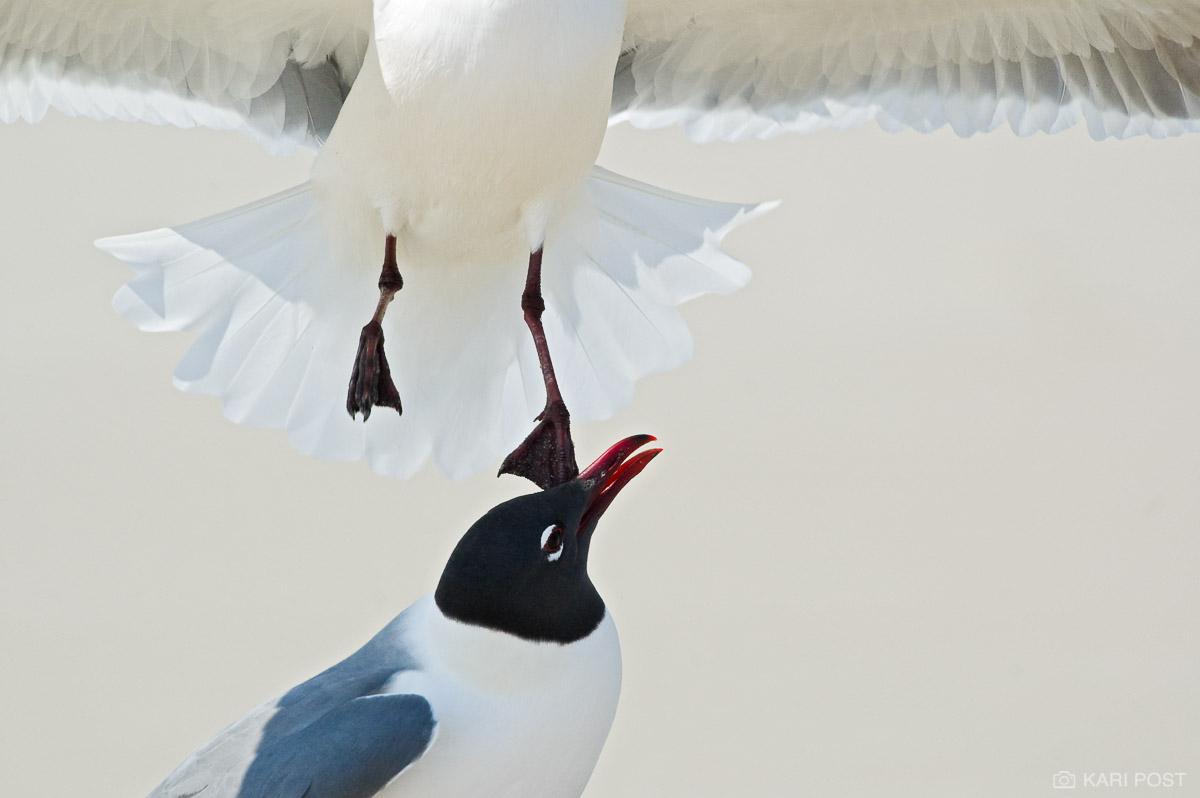 Assateague Island, Assateague National Seashore, Larus atricilla, Laughing Gull, MD, Maryland, North America, USA, United States, avian, beach, bird, gull, wildlife, photo