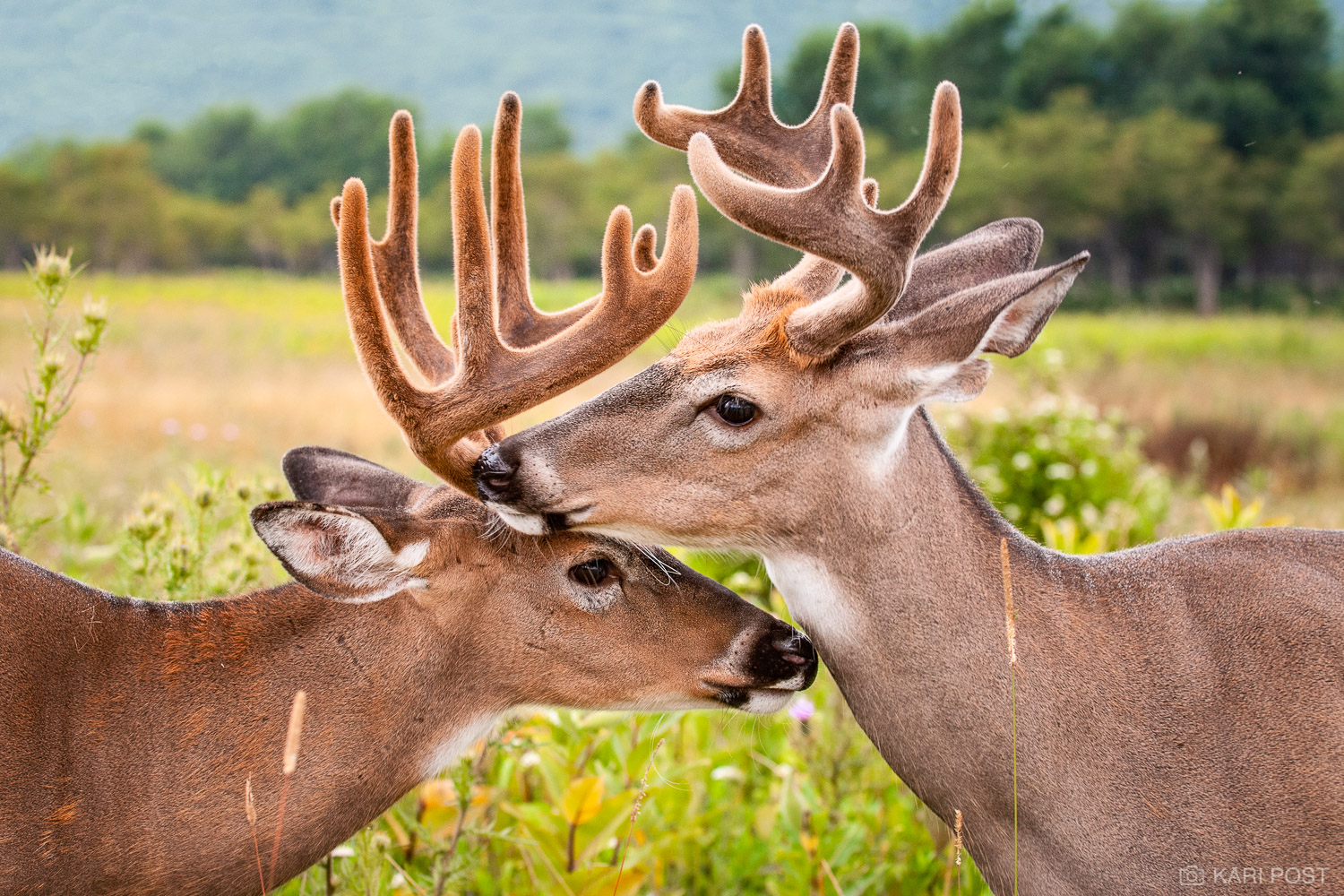 Two White-tailed Deer bucks in velvet nuzzle one another while taking a break from grazing in Big Meadows at Shenandoah National...