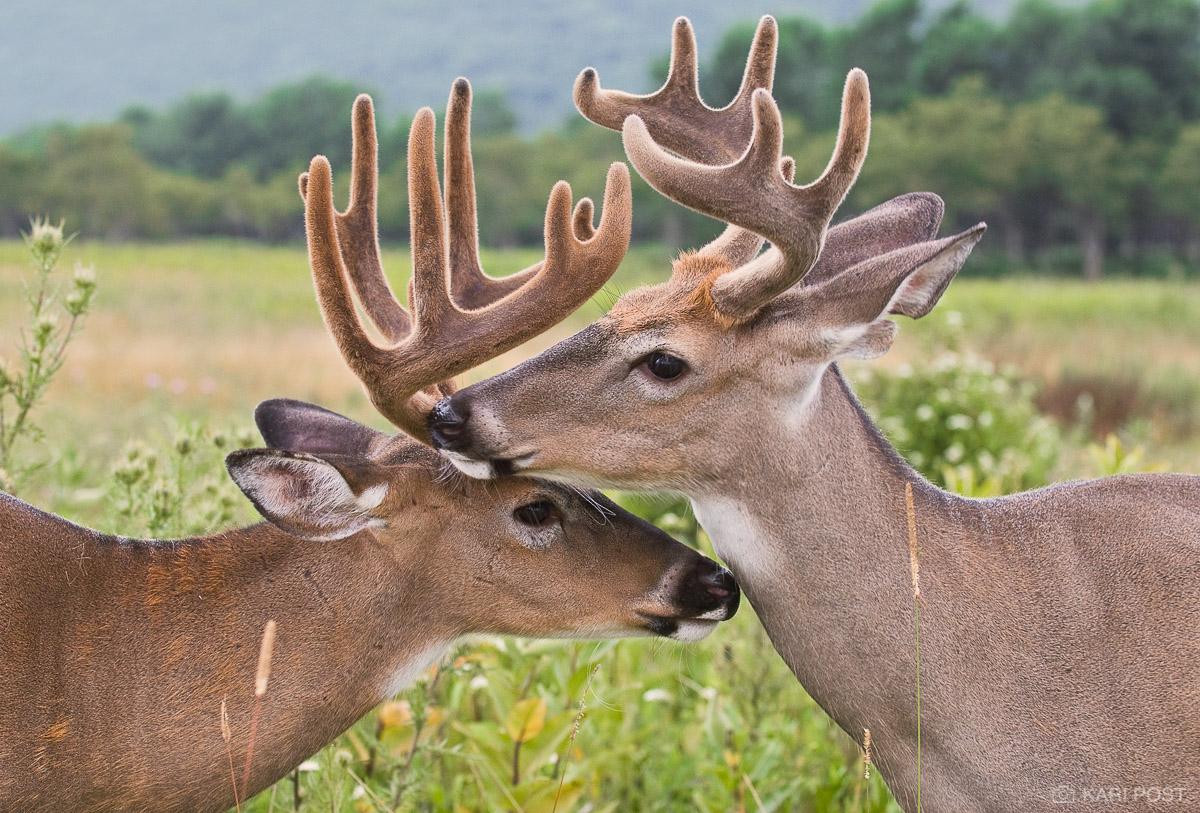 White-tailed Deer, deer, buck, Odocoileus virginianus, Big Meadows, Shenandoah National Park, Virginia, VA, wildlife, United States, USA, North America, male, photo