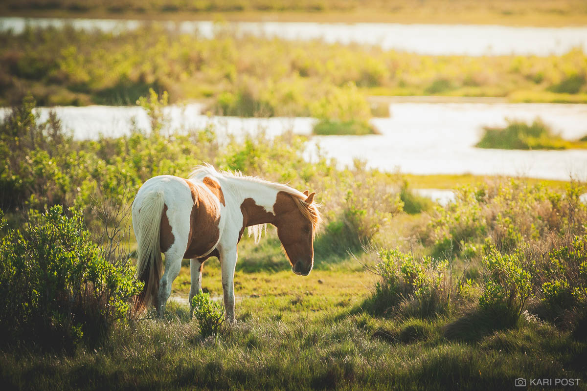 A pinto Chincoteague Pony mare pauses from grazing as the late day sun settles on the marsh at Chincoteague National Wildlife...
