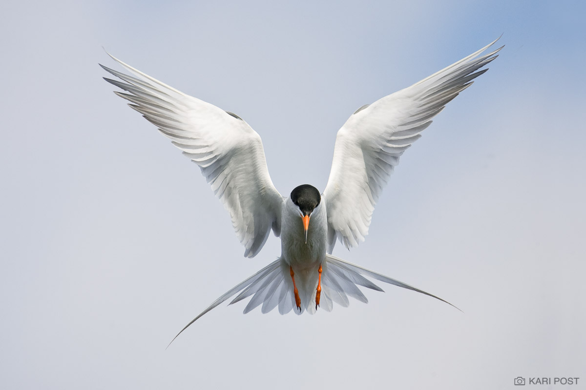 Assateague Island, Chincoteague NWR, Chincoteague National Wildlife Refuge, Forster's Tern, North America, Sterna forsteri, USA, United States, VA, Virginia, flying, hunting, in flight, tern, photo