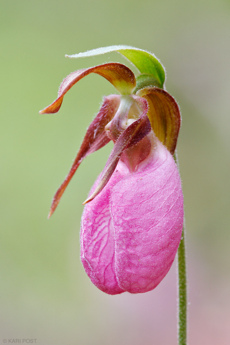 Prime Hook NWR, Delaware, Pink Lady's Slipper, Pink Mocassin Flower, orchid, Cypripedium acaule, photo