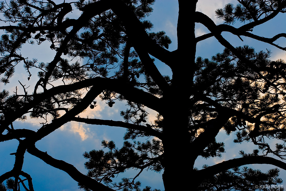 sunset, pine tree, Raven's Roost, Blue Ridge Parkway, George Washington National Forest, Virginia, USA, silhouette, photo