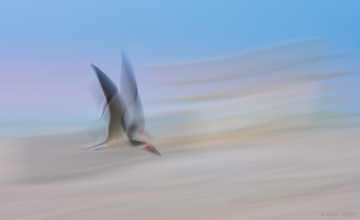 An abstract pan blur of a Black Skimmer (Rynchops niger) flying at sunrise.