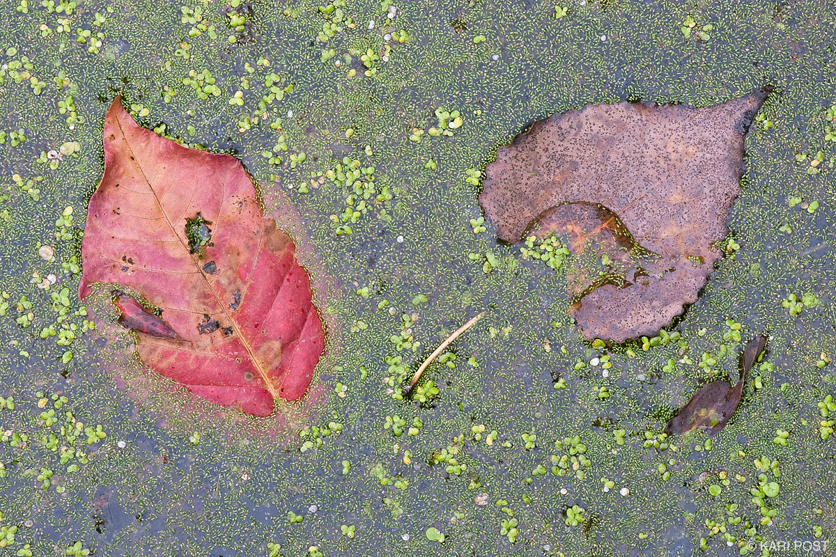 Fallen deciduous leaves and duckweed floating on the surface of a pond in the Hamilton-Trenton Marsh.