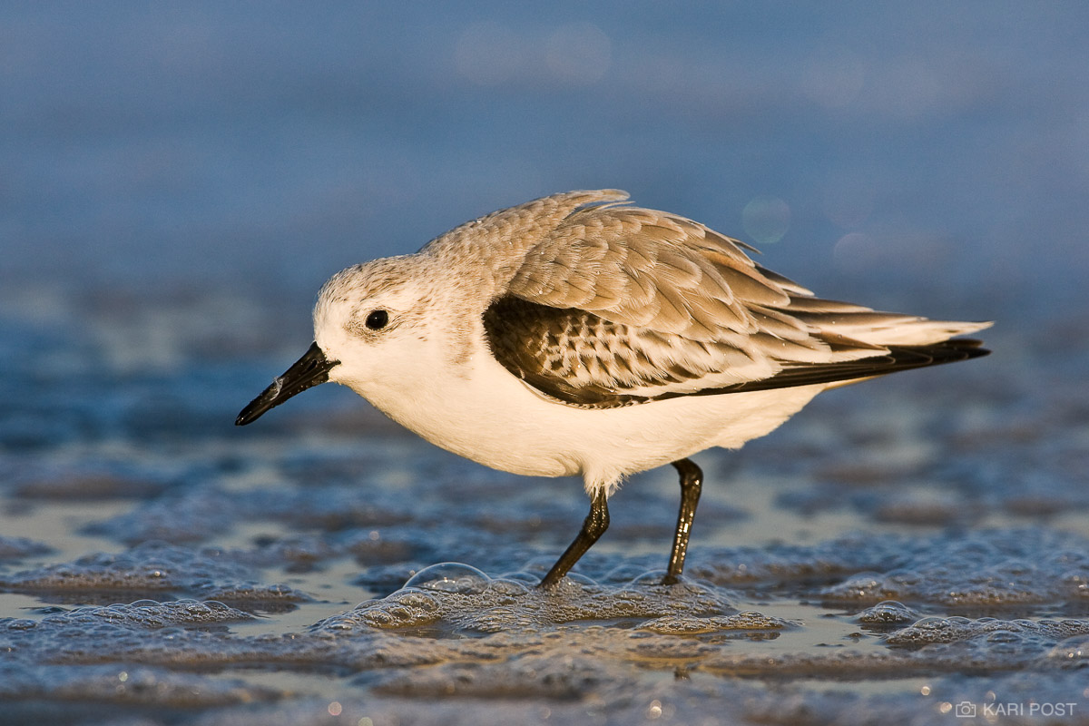 Chincoteague National Wildlife Refuge, Assateague Island, Calidris alba, Chincoteague NWR, North America, Sanderling, USA United States, VA, Virginia, avian, bird, shorebird, wildlife, winter plumage