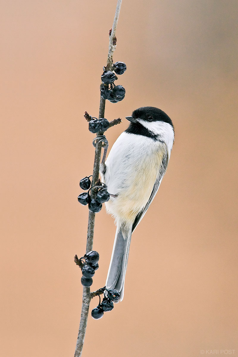 A Black-capped Chickadee perches on a branch of black berries.
